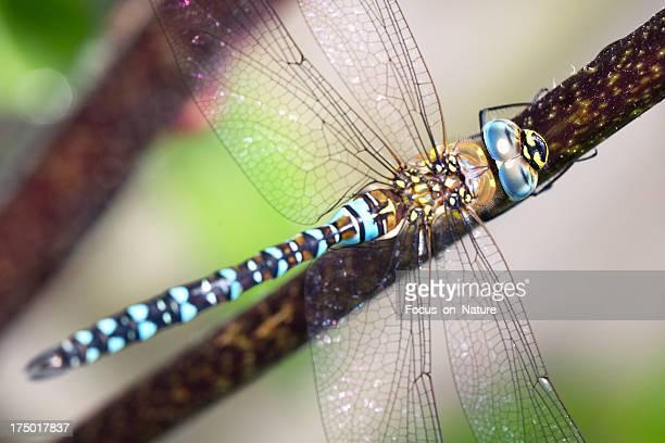 Dragonfly (Aeshna mixta) close-up