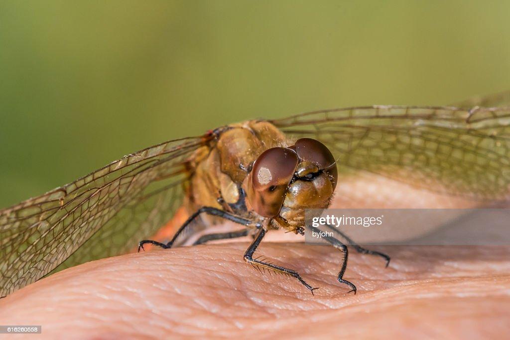 Dragonfly, Common Darter, Sympetrum striolatum on Photographer's Hand.  Macro : Stock Photo