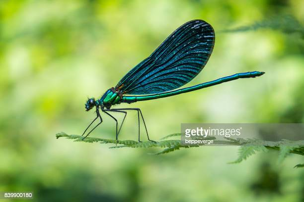 Dragonfly - European damselfly