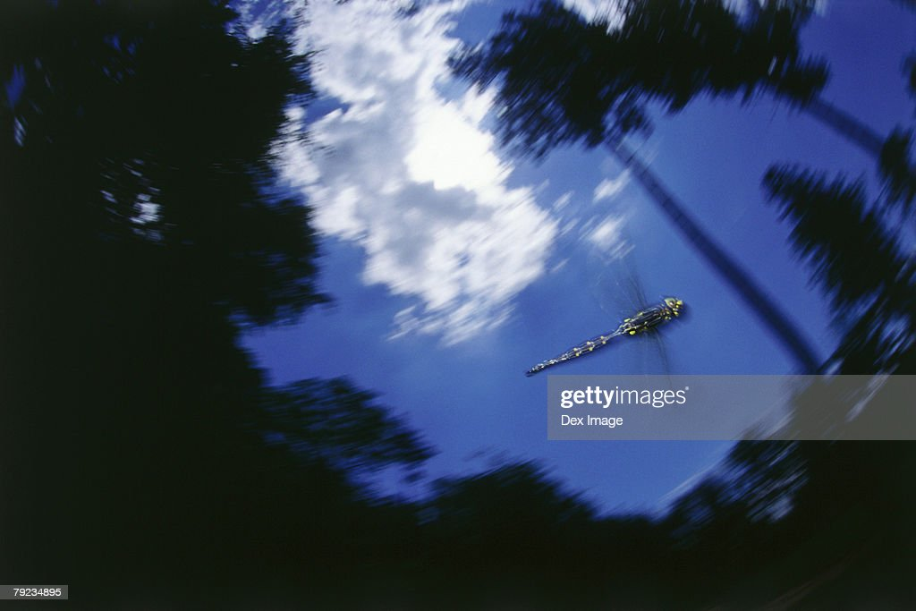 Dragonfly in flight, flapping wings : Stock Photo