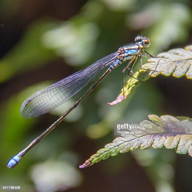 Dragonfly in the rainforest of Foret de Belouve, Reunion island