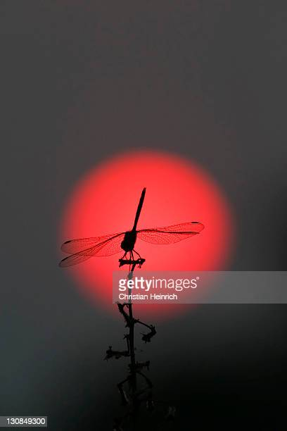dragonfly in the red sun, sunset, nationalpark, moremi wildlife reserve, okavango delta, botswana, africa - nationalpark stock pictures, royalty-free photos & images