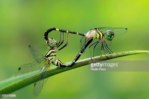 Dragonfly insect mating pair The 17000 islands that comprise the nation of Indonesia stretch more than 3000 miles along the equator bridging Asia and...