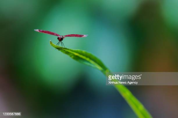 Dragonfly is seen in Laguna Province, the Philippines, on June 21, 2021.