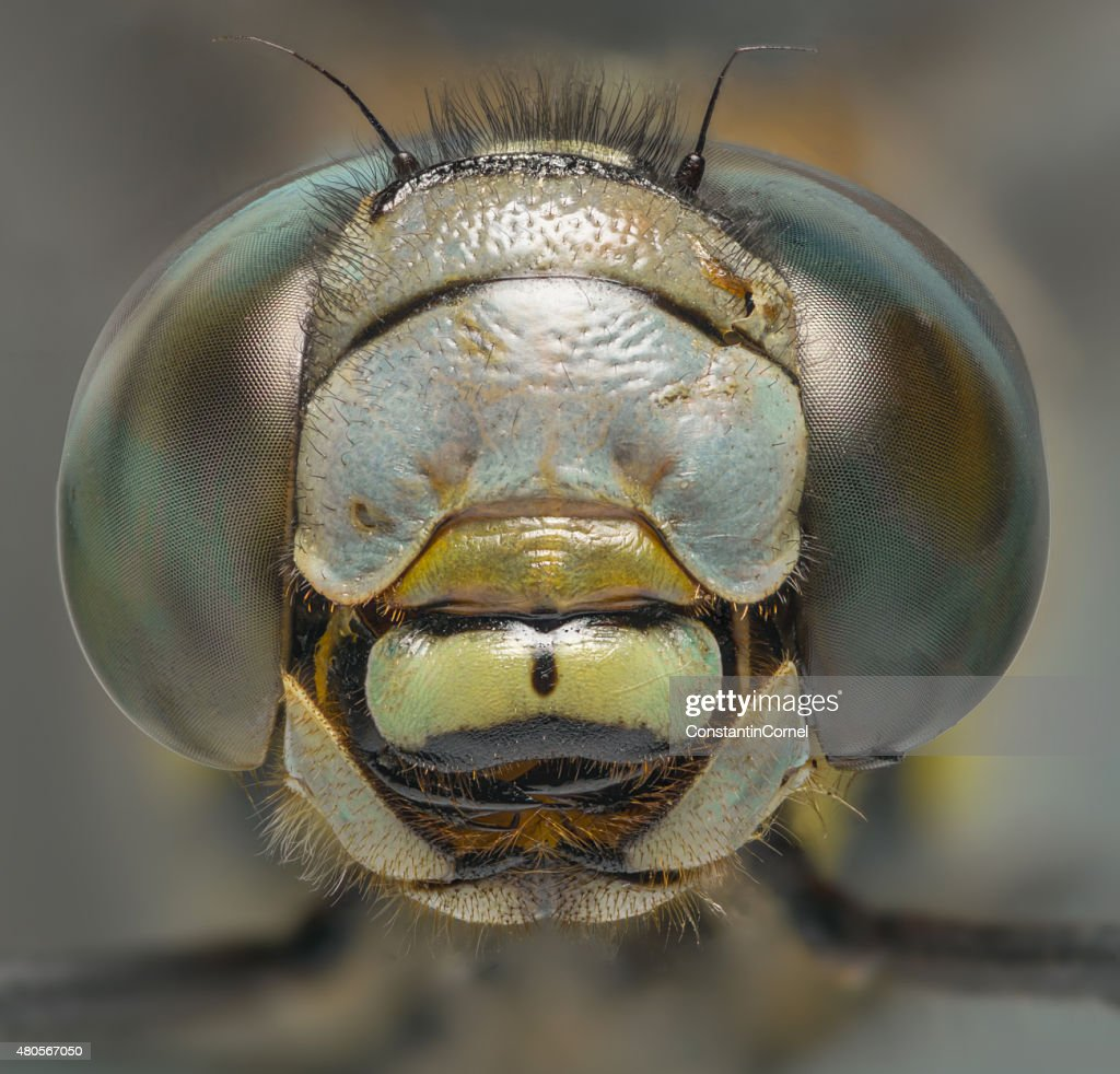 Dragonfly macro head shot front view : Stock Photo