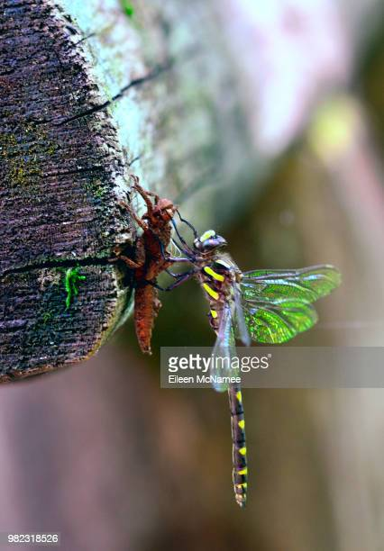 dragonfly molting - arthropod stock pictures, royalty-free photos & images