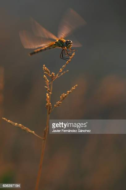 A dragonfly moves its wings perched on a thin plant with the warm and late lights in the evening.