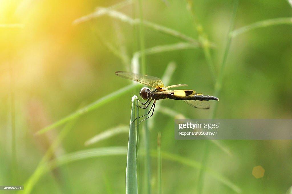 Dragonfly 'Neurothemis tullia male' : Stock Photo