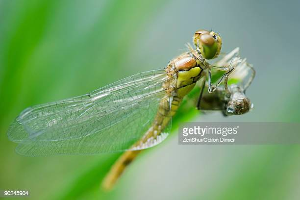 dragonfly newly emerged from old exoskeleton drying wings - arthropod stock pictures, royalty-free photos & images