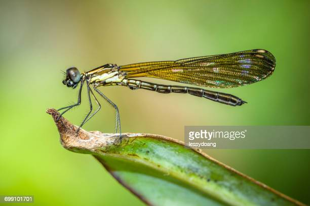 Dragonfly on a leaf, Sukabumi, West Java, Indonesia