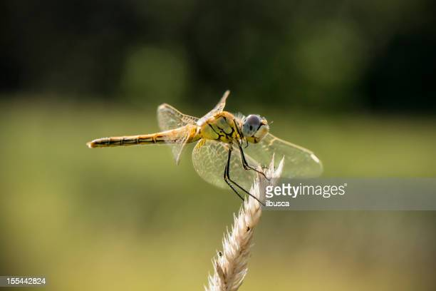 Dragonfly on ear of wheat