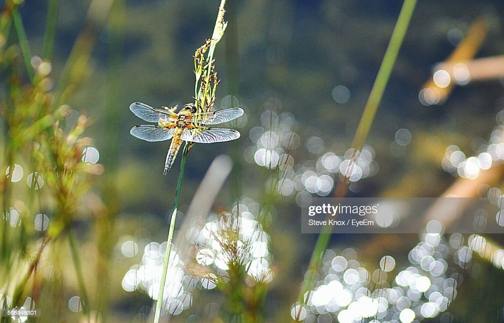Dragonfly On Plant : Stock Photo