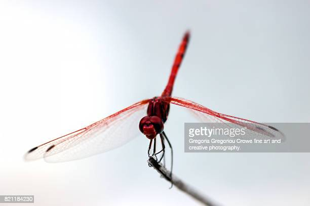 dragonfly on white background - gregoria gregoriou crowe fine art and creative photography stock pictures, royalty-free photos & images