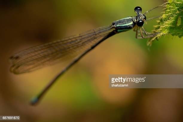 dragonfly perched on a colourful leaf for rest in royal belum rainforest park, perak, malaysia - shaifulzamri stock pictures, royalty-free photos & images