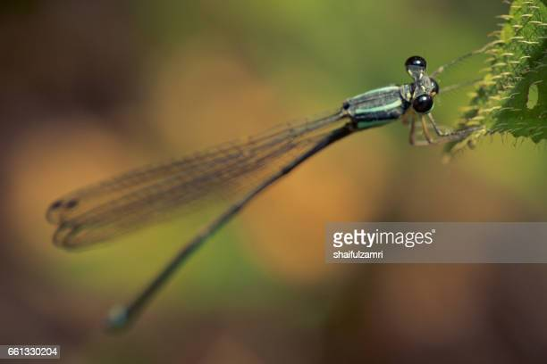 dragonfly perched on a colourful leaf for rest - shaifulzamri stock pictures, royalty-free photos & images