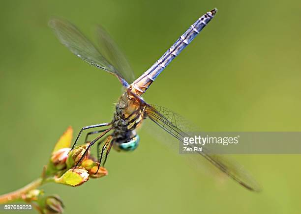 dragonfly perched showing underside - animal abdomen stock photos and pictures