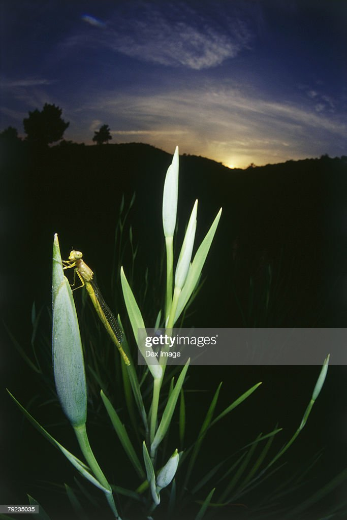 Dragonfly perching on flower bud, close up : Stock Photo