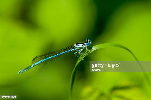 single blade of grass. Dragonfly Perching On Grass Blade Single Of