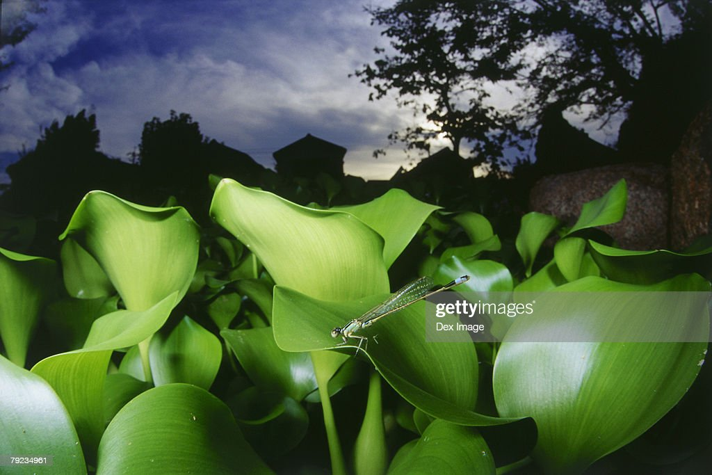 Dragonfly perching on water hyacinth, close up : Stock Photo