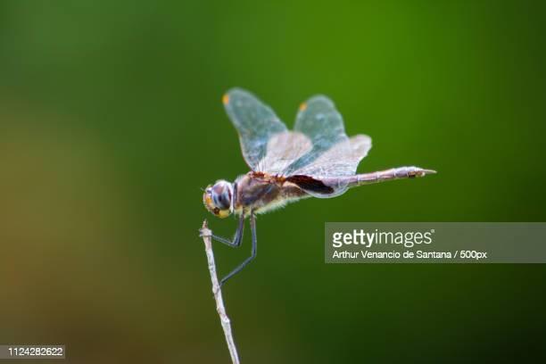 dragonfly - arthur foto e immagini stock