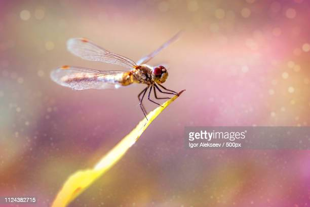 dragonfly - mayfly stock pictures, royalty-free photos & images