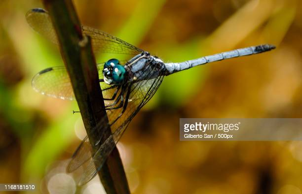 dragonfly - sanduíche stock pictures, royalty-free photos & images