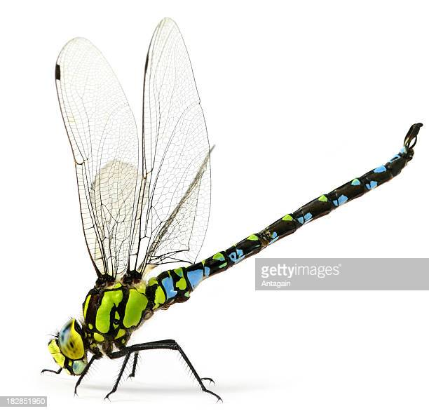 dragonfly - arthropod stock pictures, royalty-free photos & images