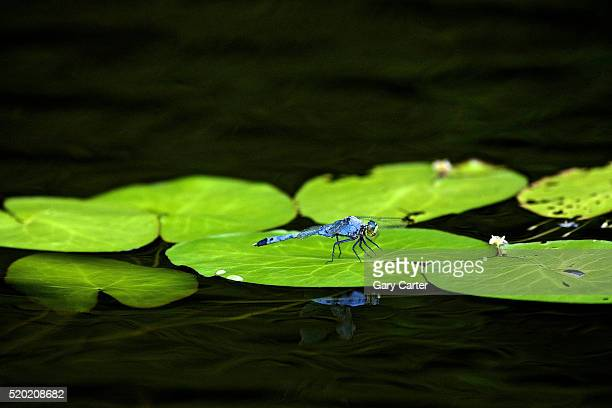 dragonfly - lily carter stock pictures, royalty-free photos & images