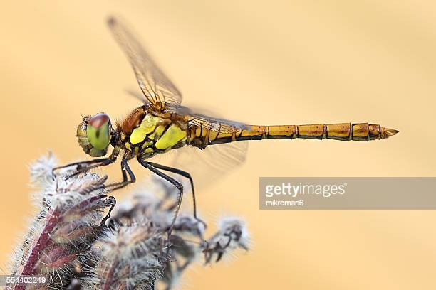Dragonfly (Scarce Chaser)