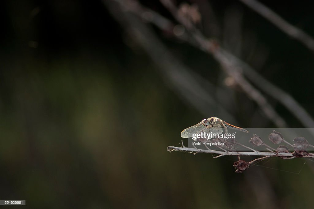 Dragonfly : Stock Photo