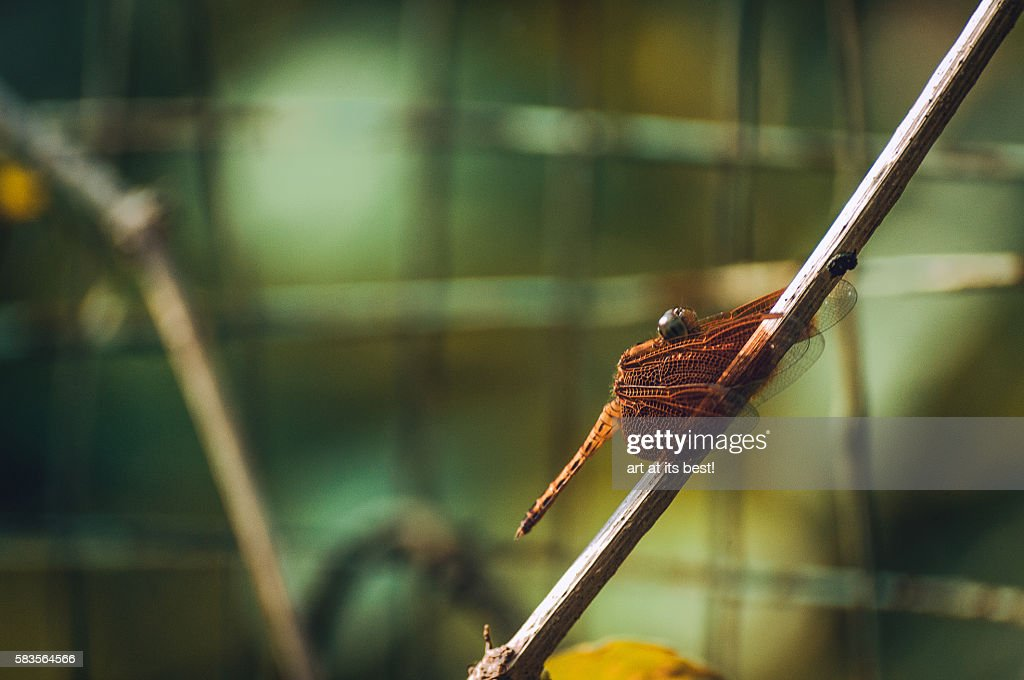 Dragonfly : Stock Photo