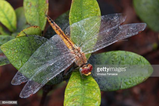dragon-fly - insectenbeet stockfoto's en -beelden