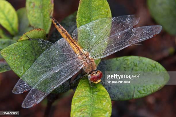 dragon-fly - insektsbett bildbanksfoton och bilder