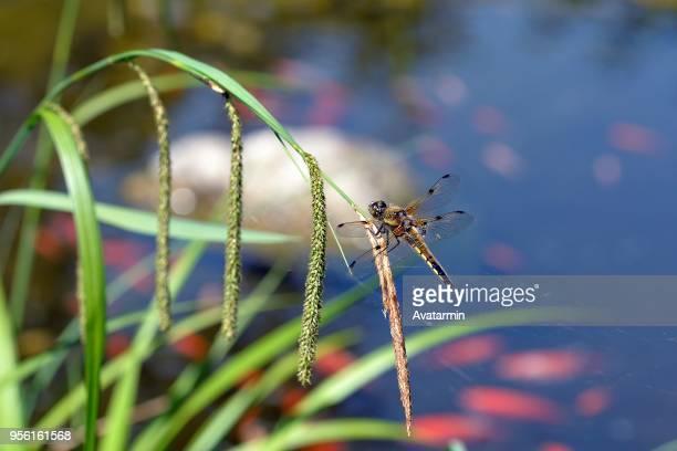 dragonfly - dragonfly stock-fotos und bilder