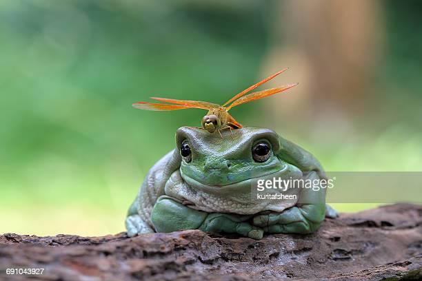 dragonfly sitting on a dumpy frog, indonesia - dragonfly stock-fotos und bilder