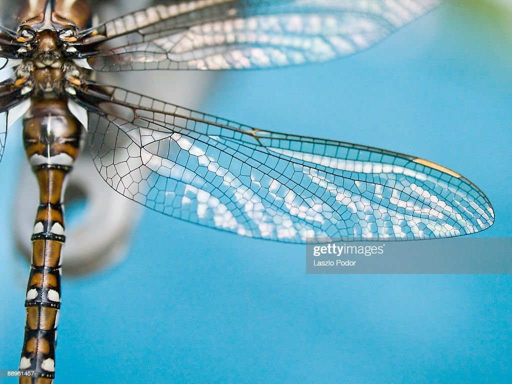 Dragonfly wing : Stock Photo