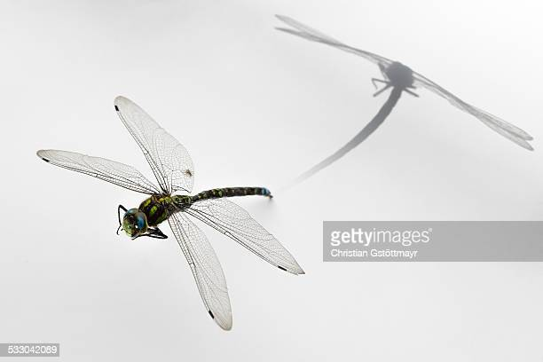 Dragonfly with shadow