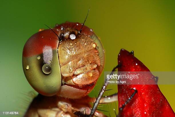 Dragonfly with water drops