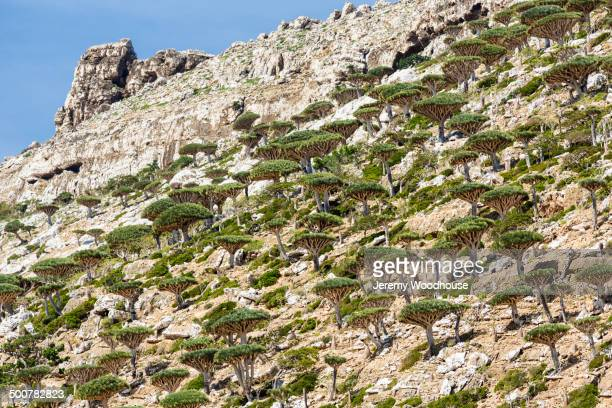 Dragon's blood trees growing on craggy hillside