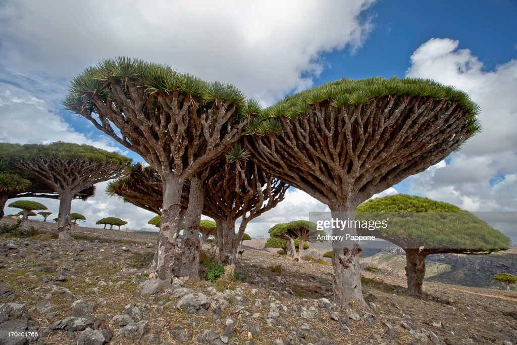 CONTENT] dragon's blood trees in dixam plateau, soqotra island, yemen