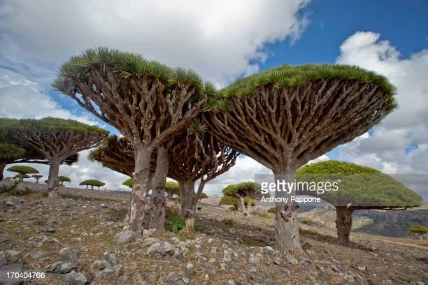 Dragon's blood trees in dixam plateau, soqotra island, yemen