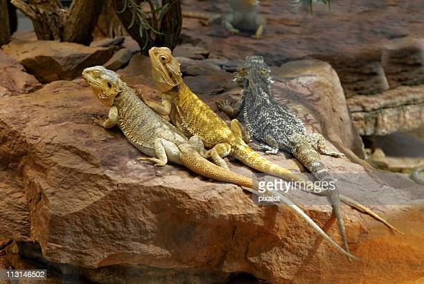 dragons chilling out - bearded dragon stock photos and pictures