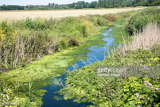 Drainage ditch with green pond weed algae caused by eutrophication Hollesley marshes Suffolk England