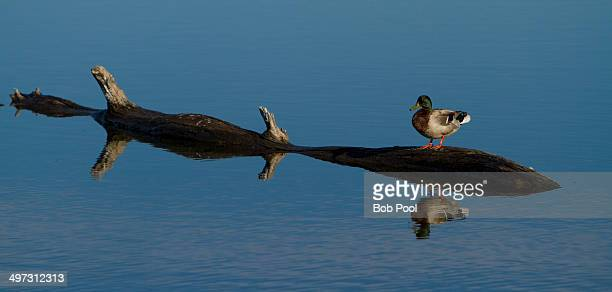 A drake mallard duck reflected in Malheur Lake