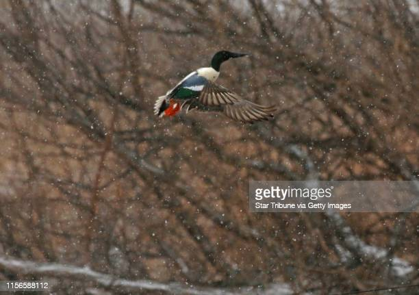 Drake shoveler rose on Wednesday in a snowstorm from a small pond near Lac qui Parle Wildlife Management Area in western Minnesota.