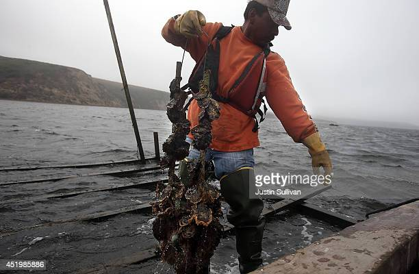 Drakes Bay Oyster Co worker checks a strand of oysters on Drakes Estero on July 10 2014 in Inverness California After a 19 month legal battle with...