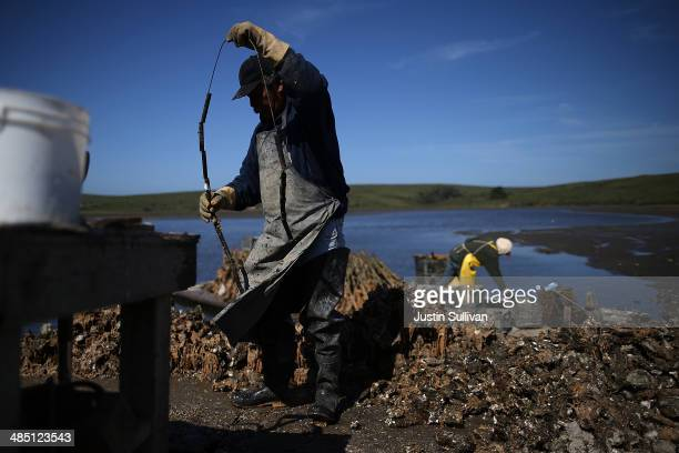 Drakes Bay Oyster Co worker sorts freshly harvested oysters on April 16 2014 in Inverness California Oyster farmer Kevin Lunny has asked the US...