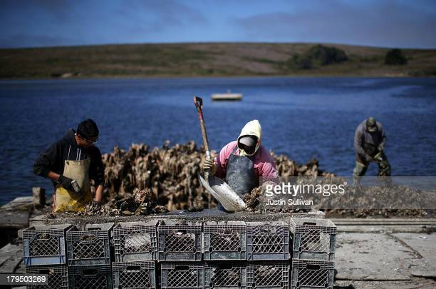 Drakes Bay Oyster Co workers sort freshly harvested oysters on September 4 2013 in Inverness California Oyster farmer Kevin Lunny suffered another...