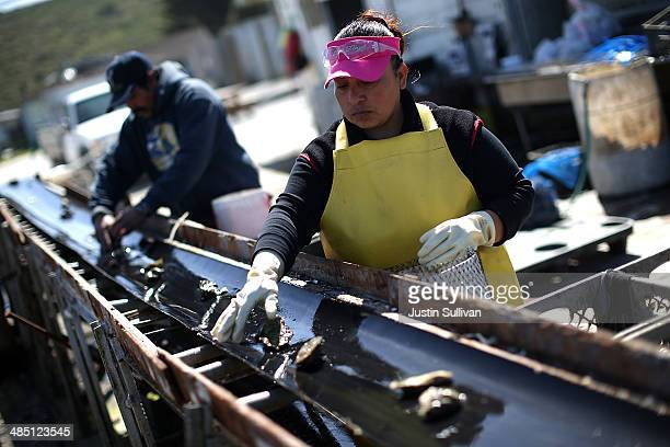 Drakes Bay Oyster Co workers sort freshly harvested oysters on April 16 2014 in Inverness California Oyster farmer Kevin Lunny has asked the US...