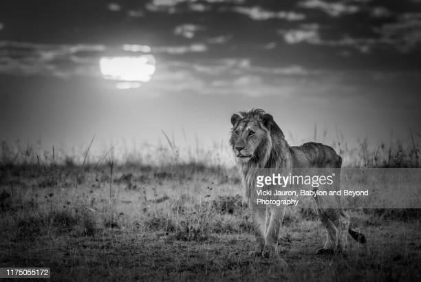 Worlds Best Black Lion Wallpaper Stock Pictures Photos